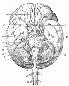 общий обзор головного мозг доклад