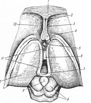 Рисунок: Промежуточный и средний мозг ...: med-neurology.ru/golovnoj-mozg/20-srednij-mozg.html