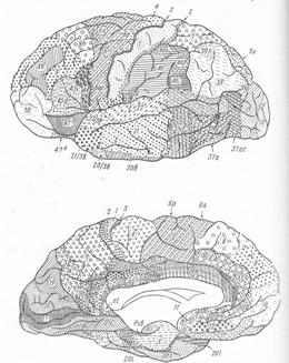 Строение коры полушарий головного мозга
