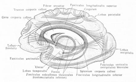Белое вещество полушарий головного мозга
